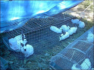 Colony Rabbits