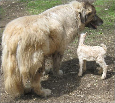Flock Guardian Dog Breeds